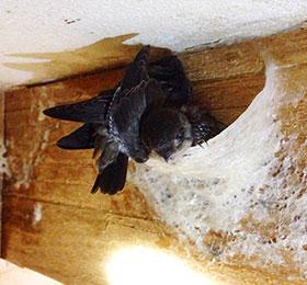 燕窩 燕屋 燕子築巢